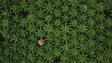Le constat glissant de l'huile de palme
