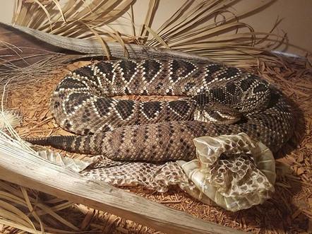 Eastern Diamindback Rattlesnake- Crotalus adamanteus