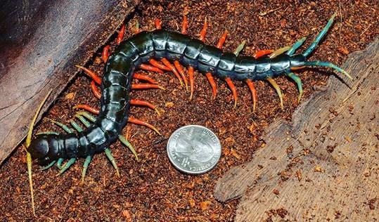 Malaysian Jewel Centipede- Scolopendra dehaani