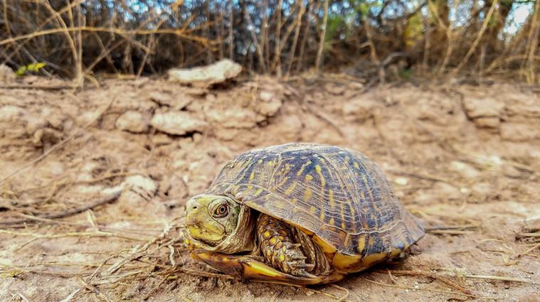 Desert Box Turtle- Terrapene ornata luteola
