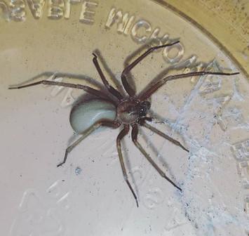 Arizona Brown Spider- Loxosceles arizonica