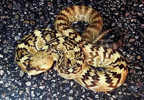 Blacktailed Rattlesnake- Crotalus molossus