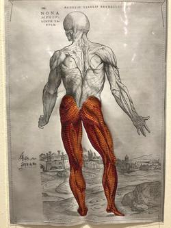 筋肉-Muscle-