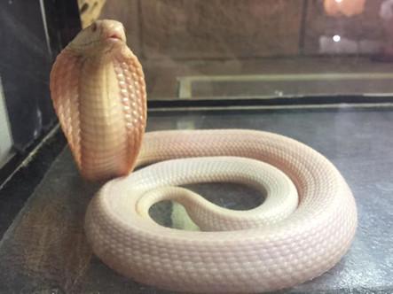Albino Monlced Cobra- Naja kaouthia juvenile