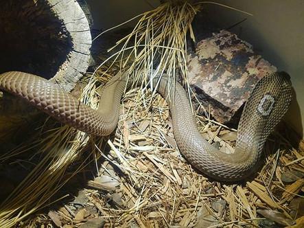 Monocled Cobra- Naja kaouthia