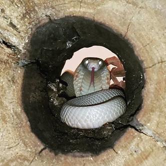 Albino Monocled Cobra- Naja kaouthia