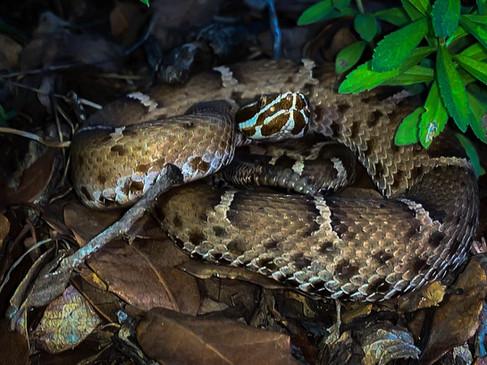 Arizona Ridge-Nosed Rattlesnake- Crotalus willardi willardi