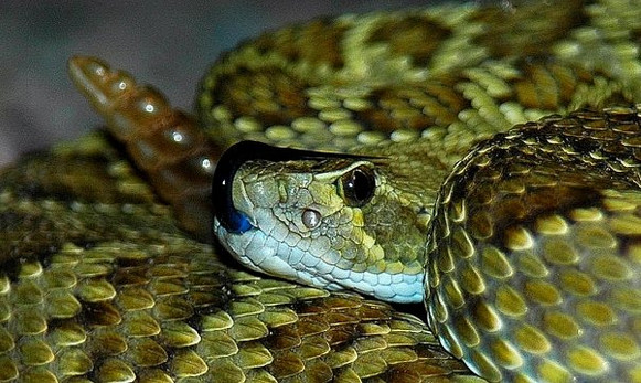 Mojave Rattlesnake- Crotalus scutulatus