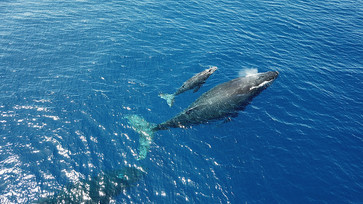 The Success of the International Whaling Commission and Japan's Decision to Withdraw