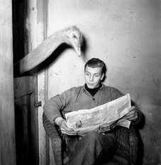 Ostrich reads newspaper of caretaker, c1950