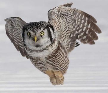 The Northern Hawk Owl
