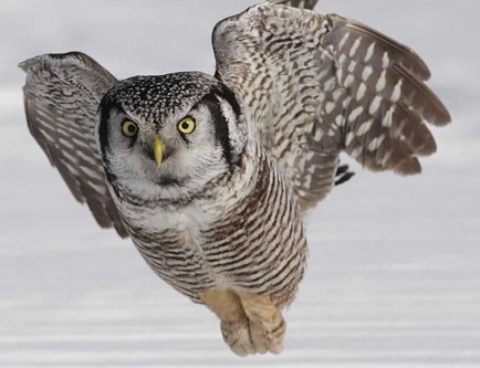 The Northern Hawk Owl