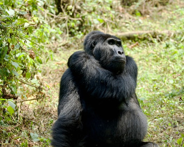 Some Good Environmental News: Mountain Gorilla Population Increases & Plastic Eating Mealworms
