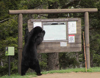 Black Bear reading Yellowstone Sign