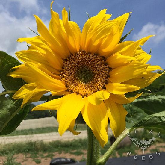 Sunflower- Giant Yellow ORGANIC