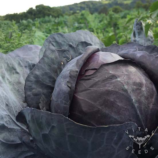 Cabbage- Rodynda ORGANIC