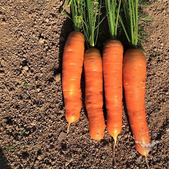 Carrot- Amsterdam Forcing ORGANIC