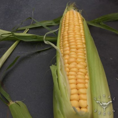 Sweetcorn - Golden Bantam (ORGANIC)
