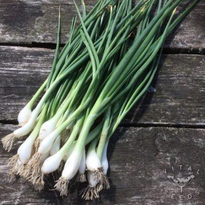 Spring Onion- White Lisbon (ORGANIC)