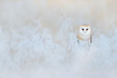 Barn Owl, Tyto alba, sitting on the rime white grass in the morning. Wildlife bird scene f