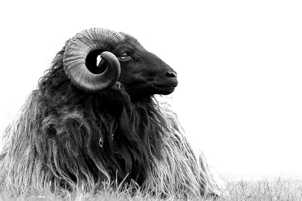 Ram black and white.jpg