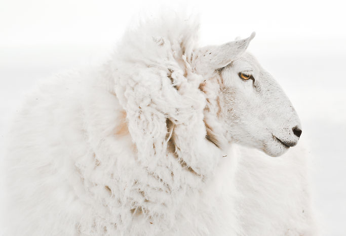 Beautiful isolated ewe sheep portrait cl