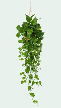 marble-pothos-indoor-hanging-plant.jpg
