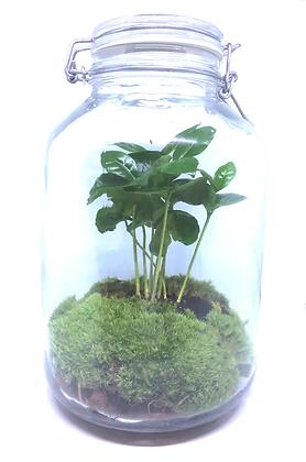 Terrarium Plant De Café