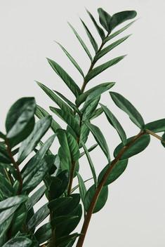 zz-plant-on-light-gray-background.jpg