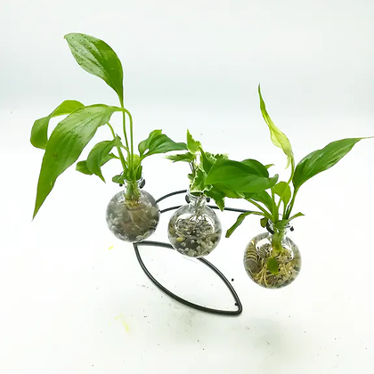 Aquaplante 3 Bulbes