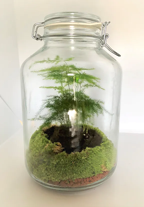 Terrarium Plant D'asparagus
