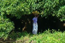 Fetching Mangoes on Nile shore