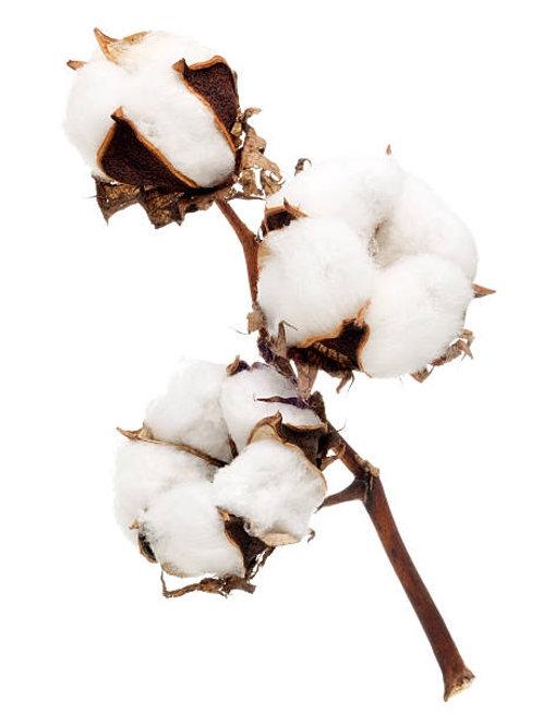 Huile aromatique Fleur de Coton