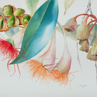 Ficifolia Cascade (POA)