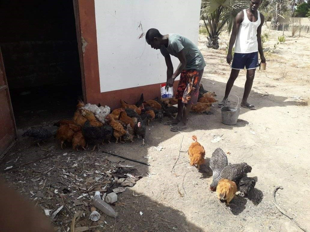 Nyamina Garden: Chickens