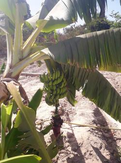 Nyamina Garden: Bananas
