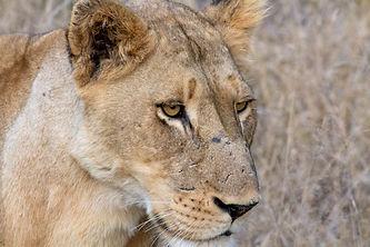 Makanyi Lioness.jpg