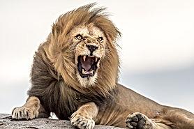 Namiri-Plains-Lion-roar-on-kopjes.jpg