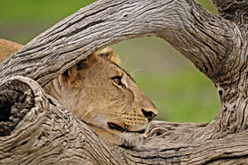 PL-Selous-lion-through-tree.jpg
