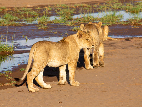 The Free Roaming Lions of the Limpopo