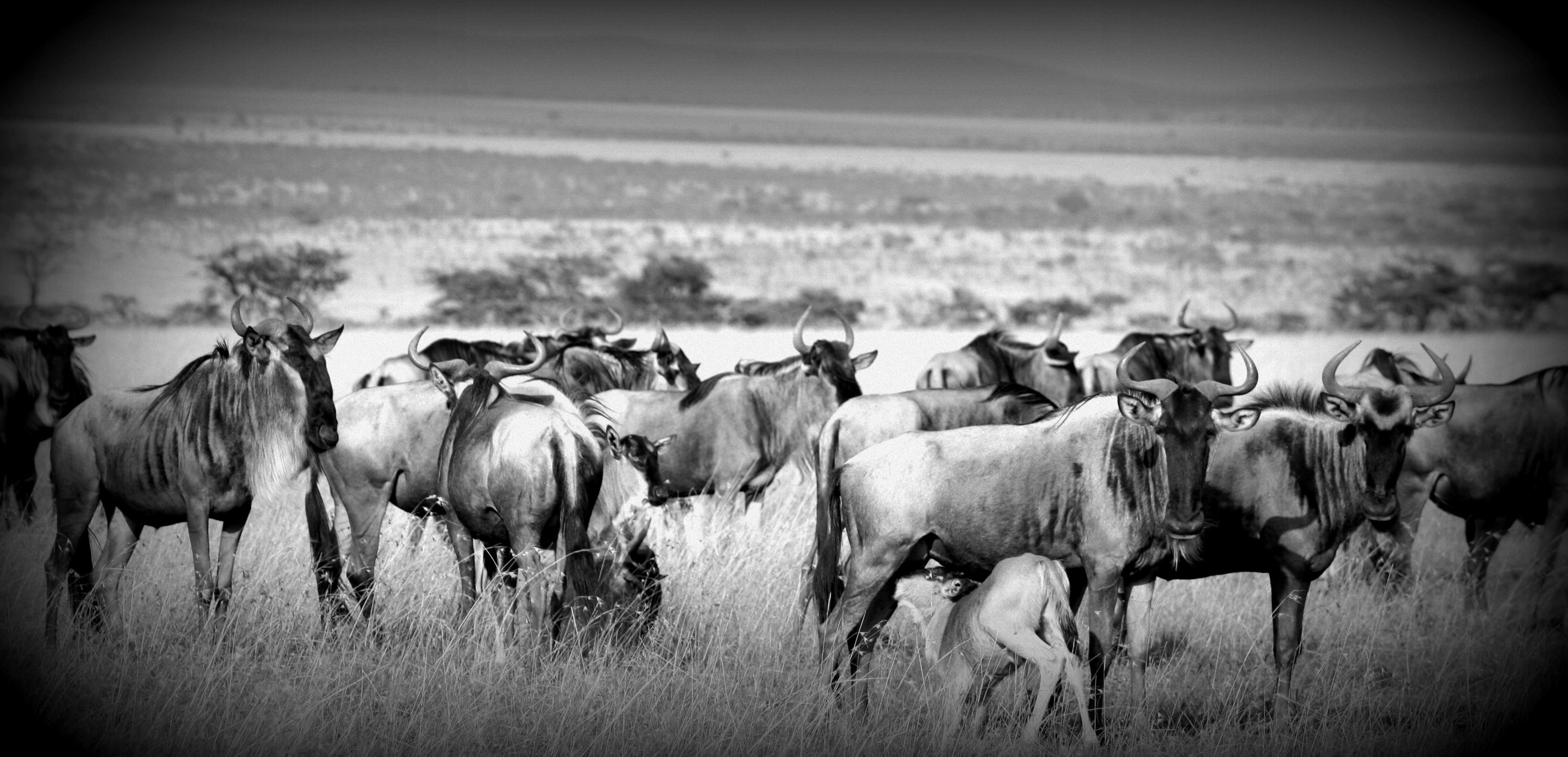 Naboisho-Camp-wildebeest-migration-kenya