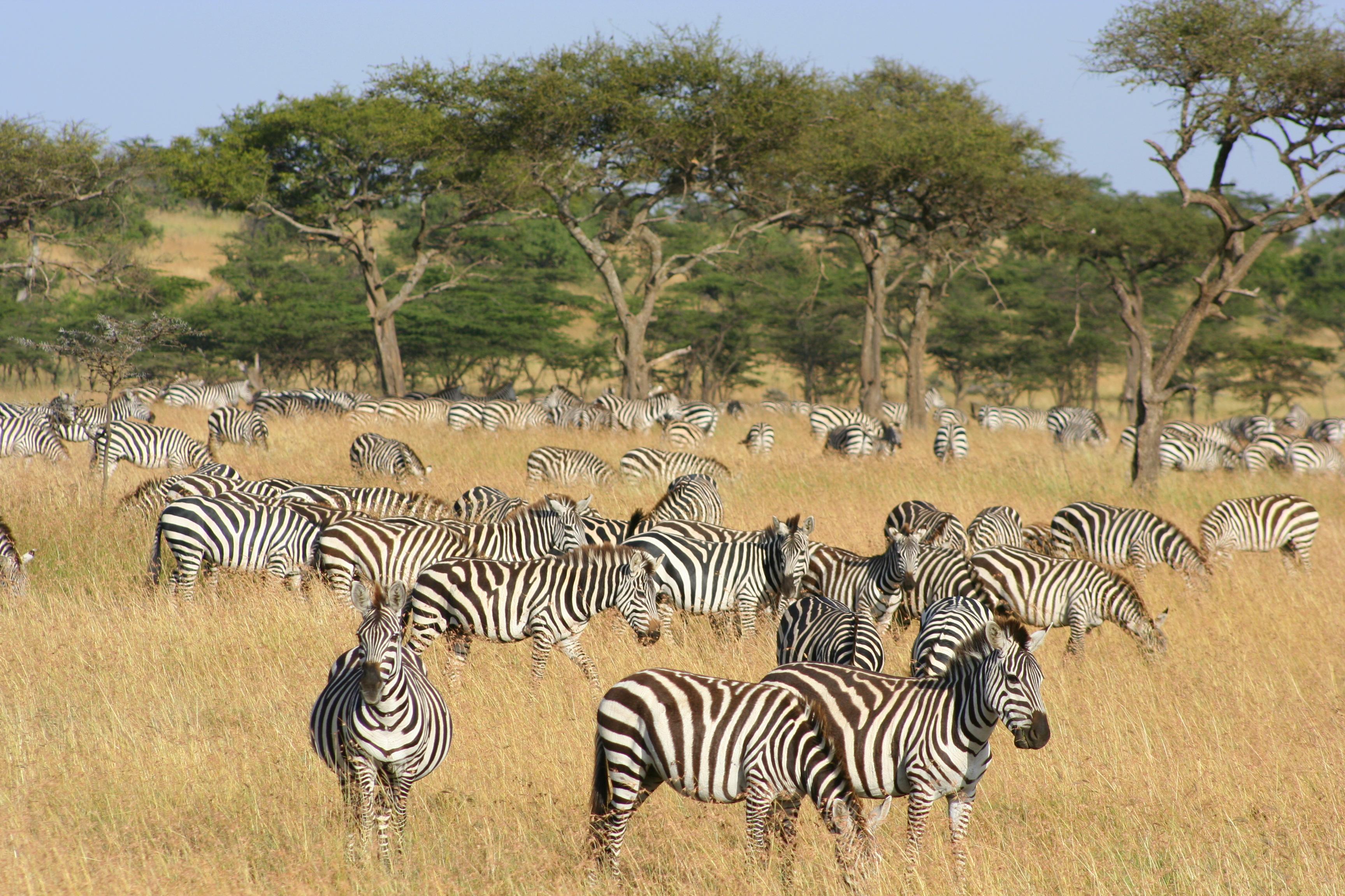Naboisho-Camp-zebra-migration-kenya-safa