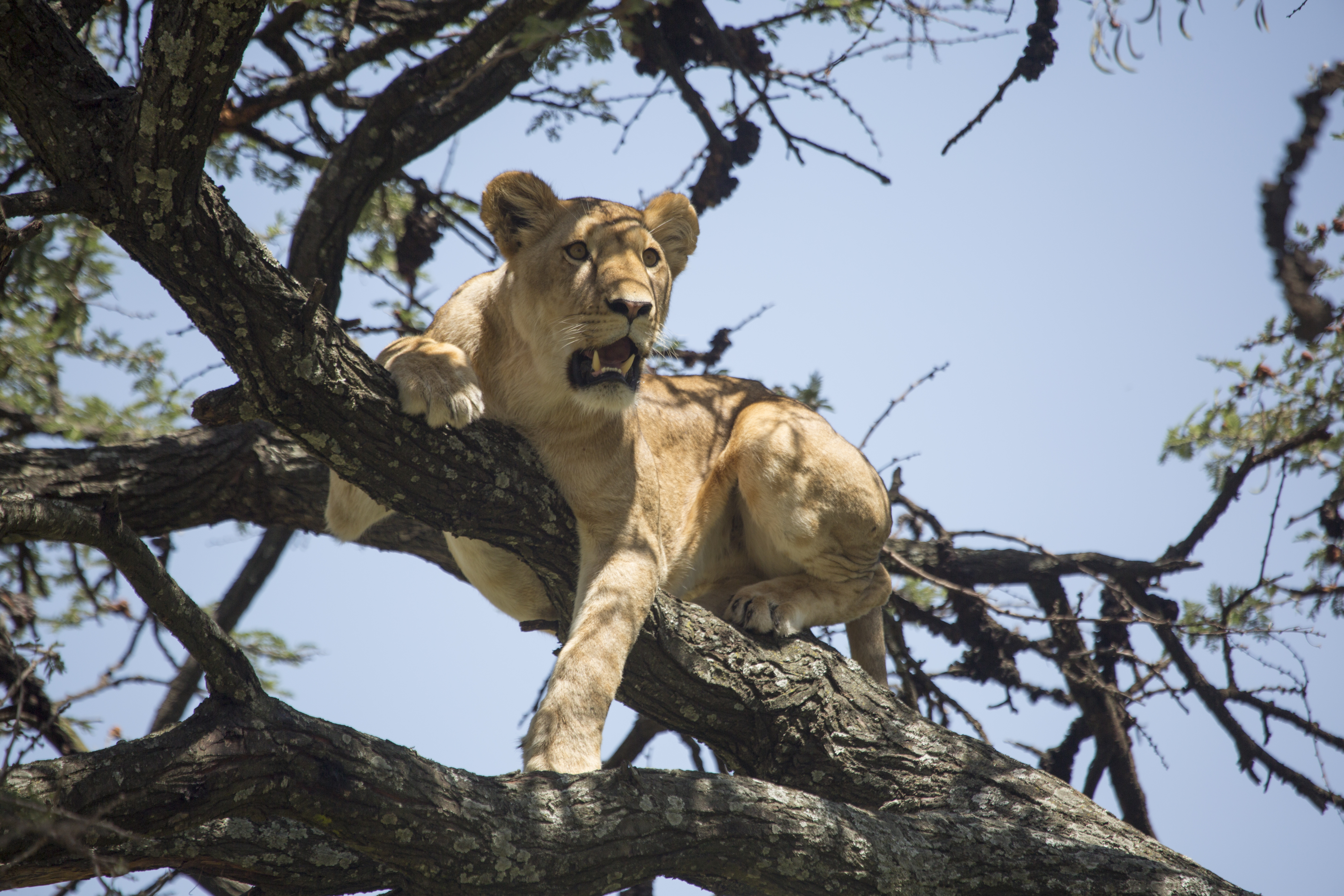 Lioness-in-a-tree-Rekero-6R1A6704_highre