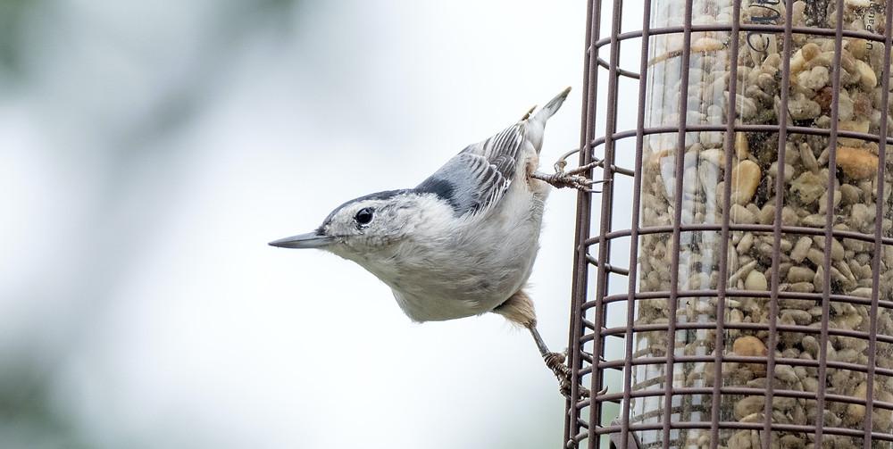 gray-white-black-small-bird-holding-onto-bird-feeder-filled-with-bird-seed