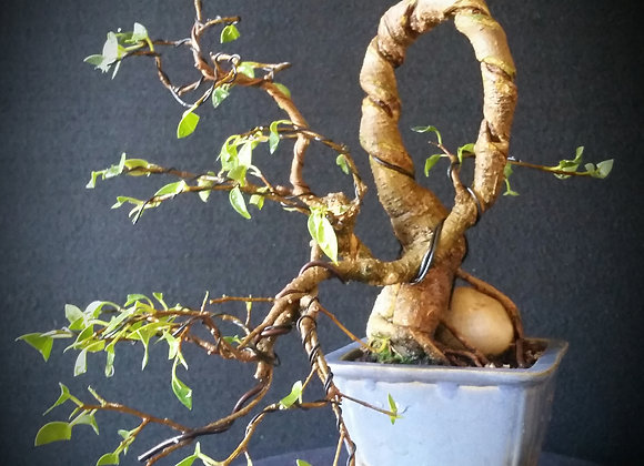 Semi-cascade ficus bonsai tree(spiral carved)