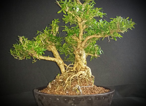 Serissa Foetida 2inch trunk(very old)