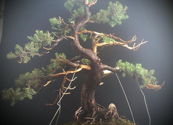Juniper With Jin or (deadwood)