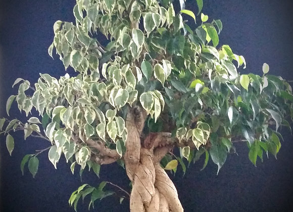 Very old tangled trunk fused ficus tree!