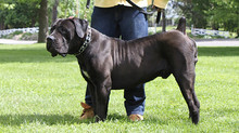 Black Boerboels