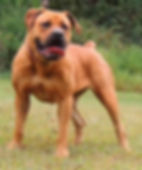 D & K Boerboels presents Zena